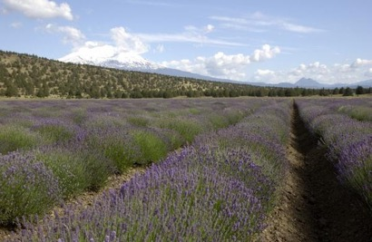 Floracopeia Lavender Bulgaria Essential Oil